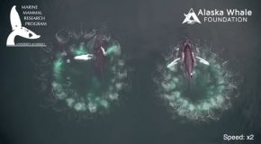 Whales Observed 'Trapping' Prey with 'Bubble Nets'