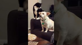Cat Contemplates Hitting Dog, Finally Does So!