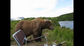 Huge Grizzly Bear Goes And Sits Next To A Man