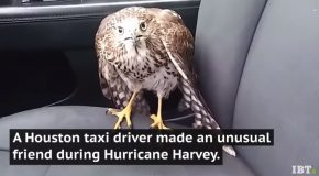 Hawk Took Refuge From Hurricane Harvey In A Taxi And Refuses To Leave