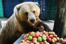 Huge Brown Bear Munches On Apples For Breakfast!