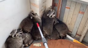 Wildlife Control Removes 11 Raccoons From A Porch!