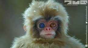 Using A Spy Robot Monkey To Look At Japanese Macaques Bathing!