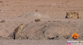 Leopard Comes Face To Face With Stalking Lioness!