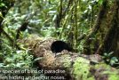 New Species Of Bird Of Paradise Found, Beautiful Mating Ritual Captured On Tape!