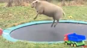 Sheep Finds Out How To Use A Trampoline And Has A Lot Of Fun!