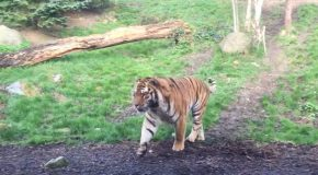 Tiger Hates It When It Gets Awoken By It's Mate