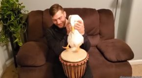 Check Out This Duck Playing Drums!