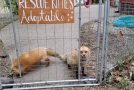 These Adorable Foxes Are Literally Laughing!