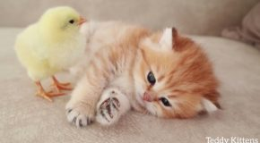 Very Cute Kitten And Chick Sleep Together!