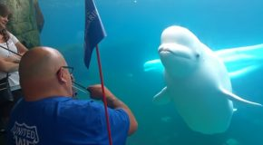 Violin Music Totally Intrigued This Beluga Whale!