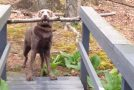 Smart Dog Finally Manages To Get Around The Problem!