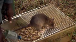 How Rats Are Saving Humans From Landmines!