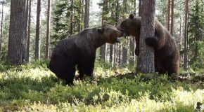 Massive Grizzly Bear Fight Caught On Tape!
