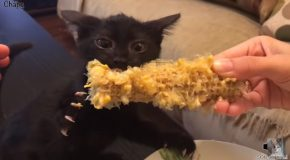 Cat Absolutely Loves Corn On The Cob!
