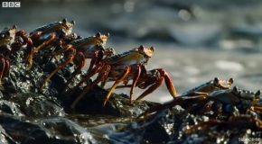 Crab Jumps From Rock To Rock To Avoid Predatory Eel!
