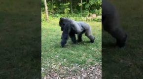 Gorilla Gets Angry About People Taking It's Pictures, Flips The Bird!