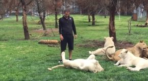 Leopard Tries To Attack Man, Tiger Saves Him!
