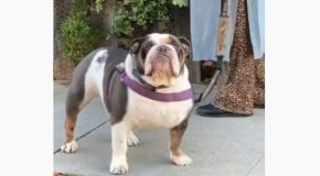 Man Sees His Bulldog Out On A Walk, Stops To Talk To Him!