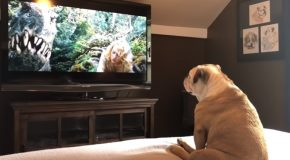 Bulldog's Reaction To Distressed Actress On TV Is Incredible!
