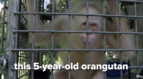 Looking At The World's Only Albino Orangutan!